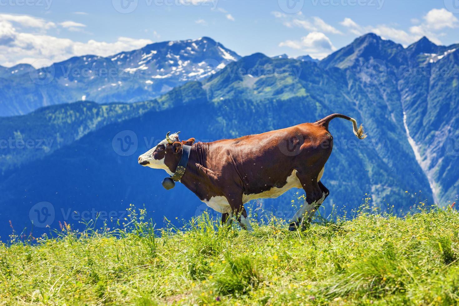 koe uitgevoerd in Franse Alpen foto