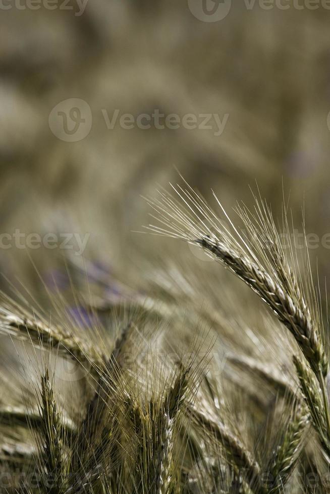 zomer velden foto
