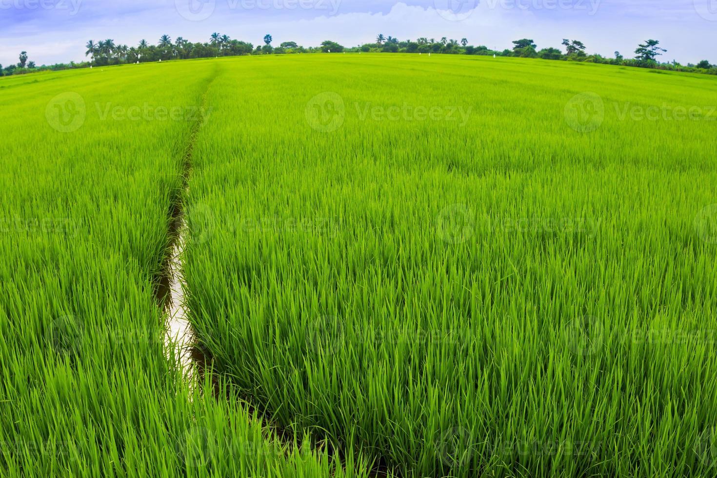 landschap van rijstveld i foto