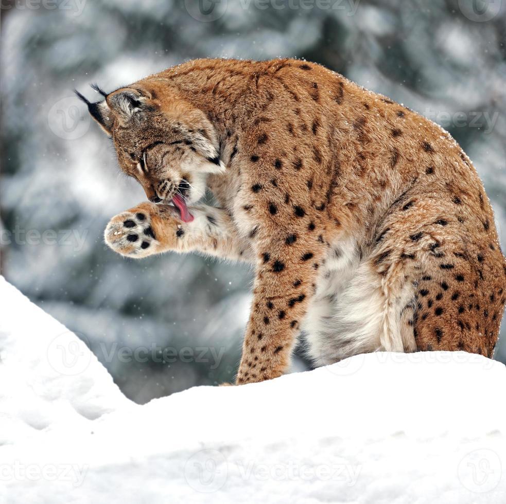 prachtige wilde lynx in de winter foto