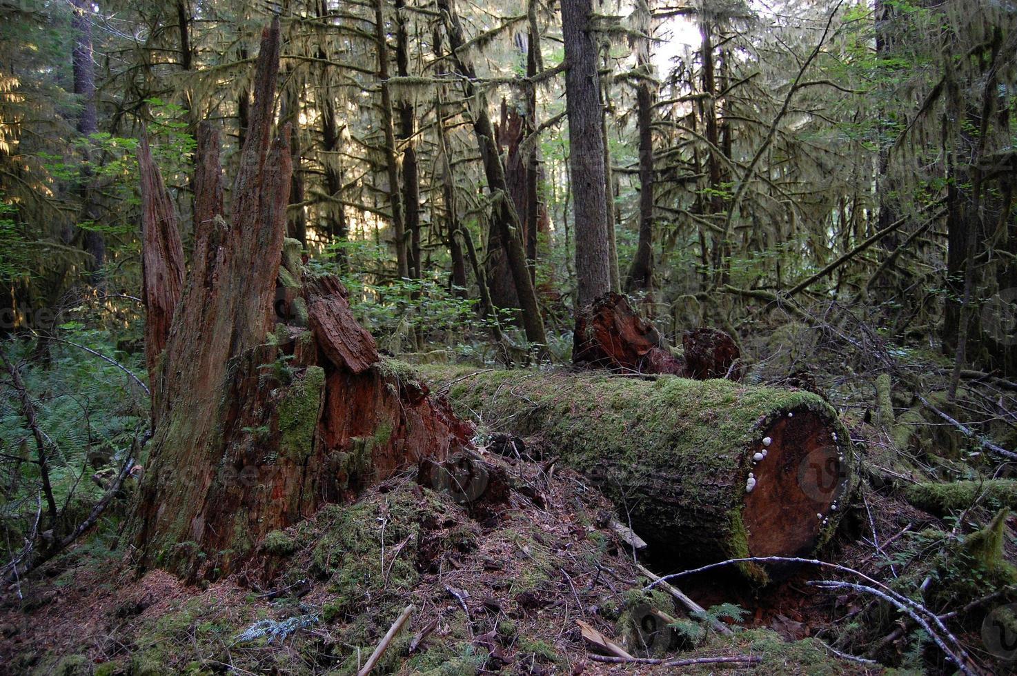 Pacific Northwest Douglas sparren foto