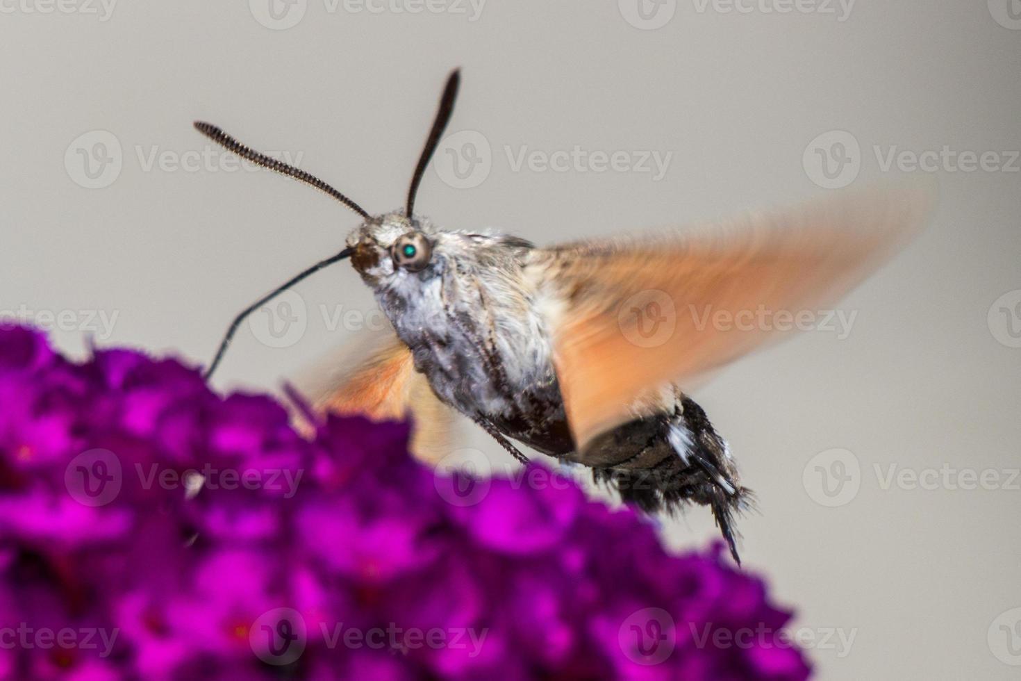 kolibrie haviksmot op buddleja davidii foto