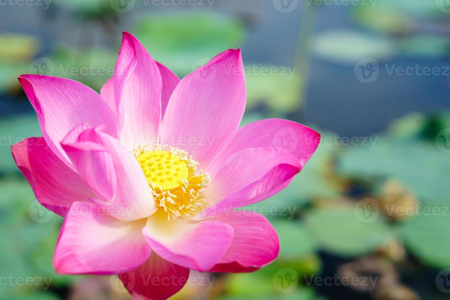 lotus meer foto