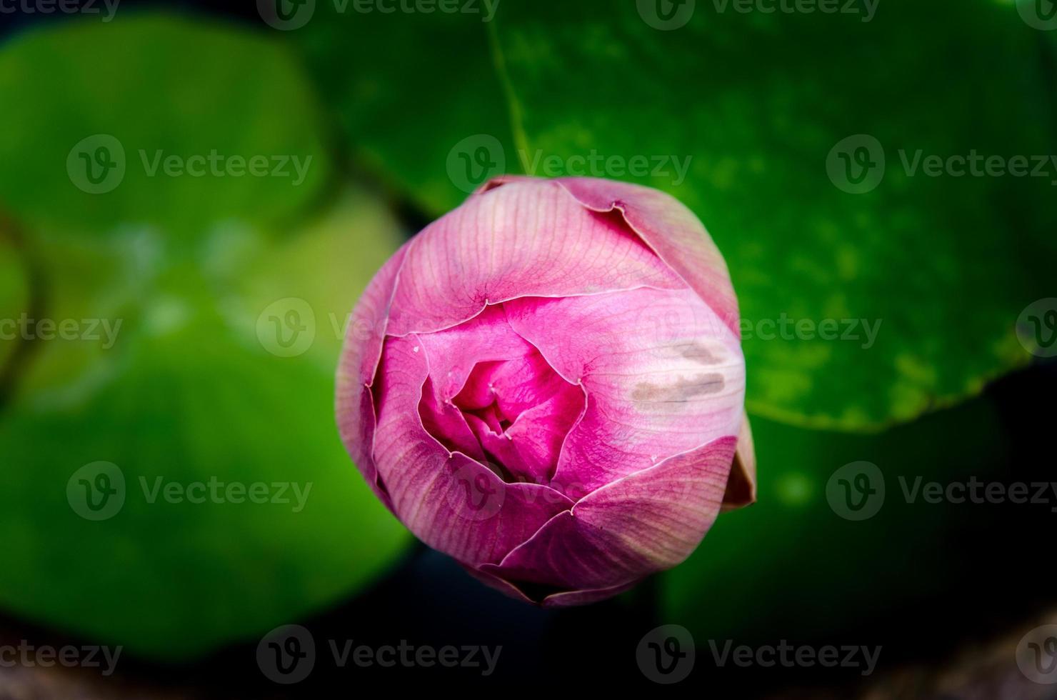 Aziatische roze lotusbloemen in de vijver op grijze achtergrond foto