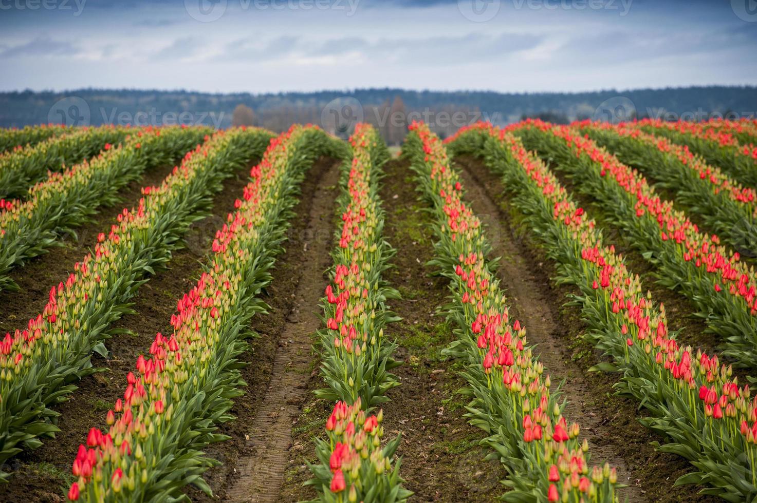 rood tulpenveld foto