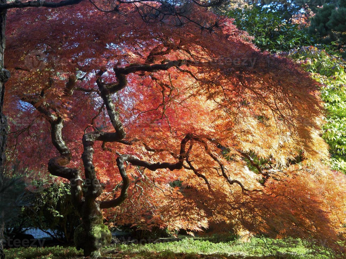 Japanse tuin herfstkleuren esdoorn Portland Oregon foto
