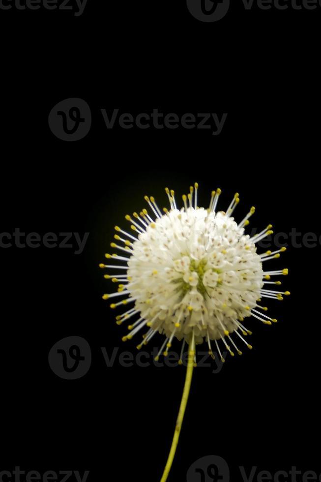 stekelige bloemknop foto