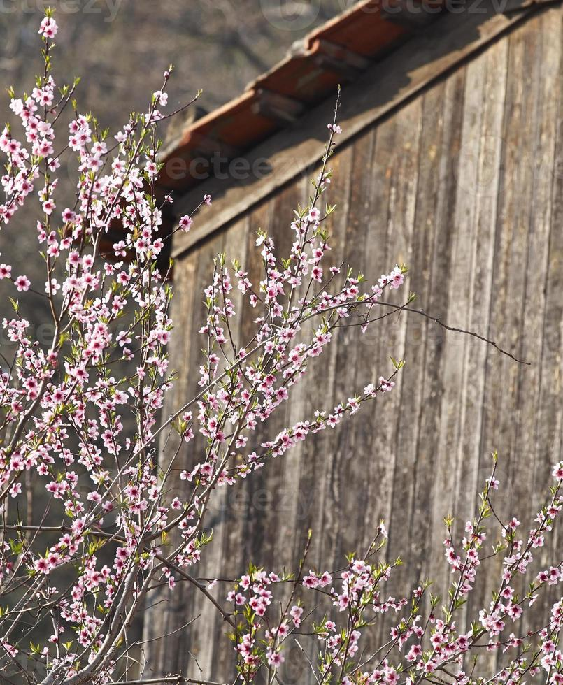 bloem van perzik foto