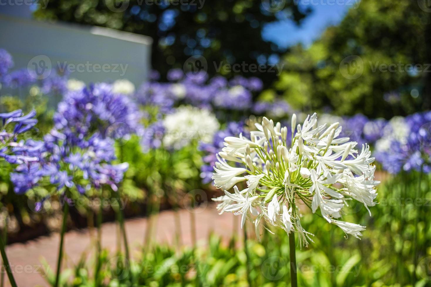witte bloemen foto
