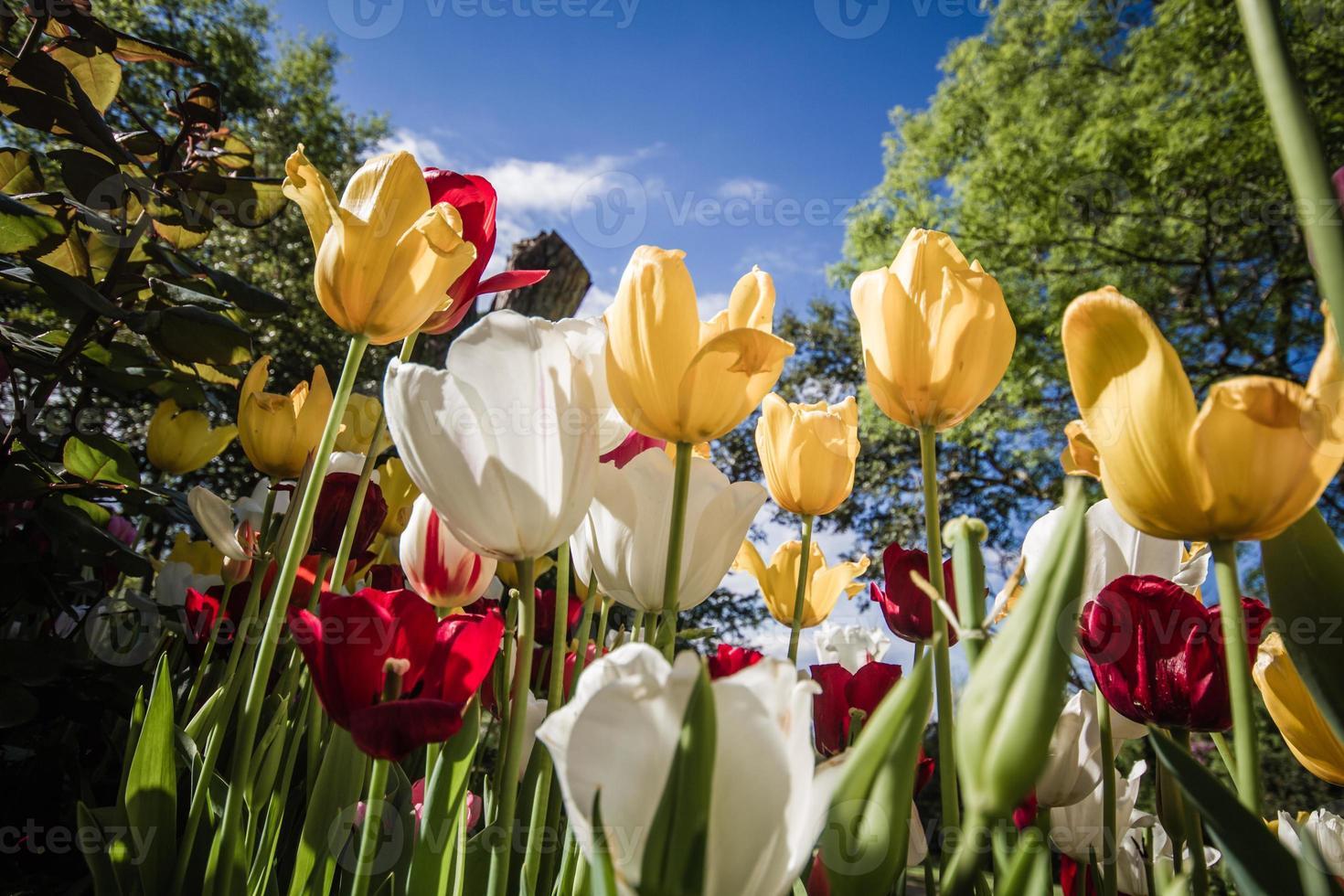 prachtige kleurrijke tulpen in een groene tuin van istanbul foto