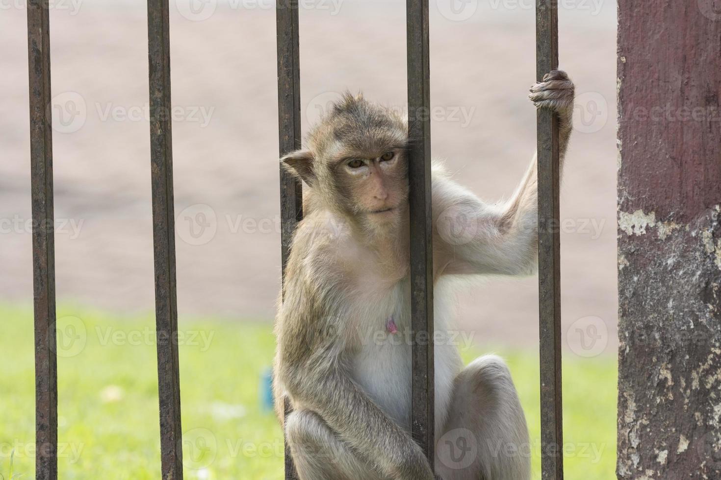de aap leeft samen met mens in lopburistad Thailand foto
