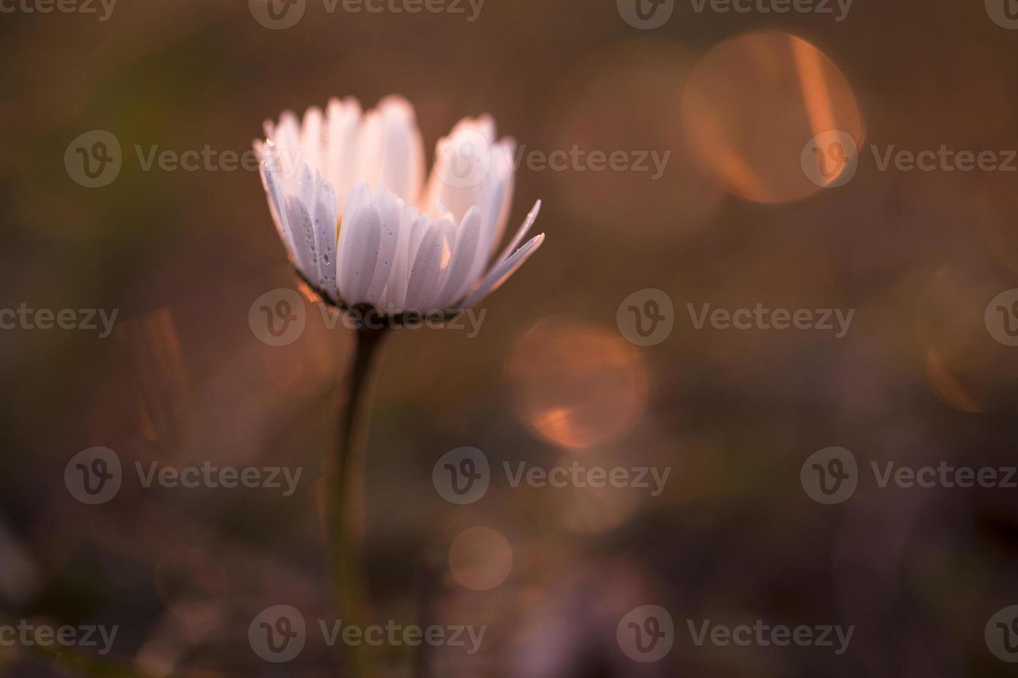 bloem in zonsondergang foto