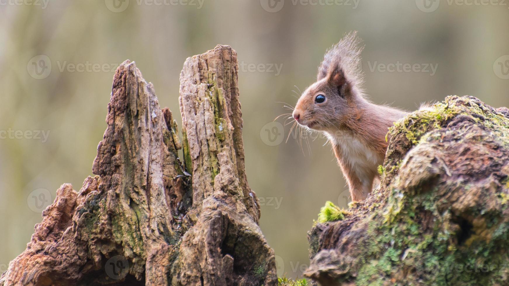 Euraziatische rode eekhoorn foto