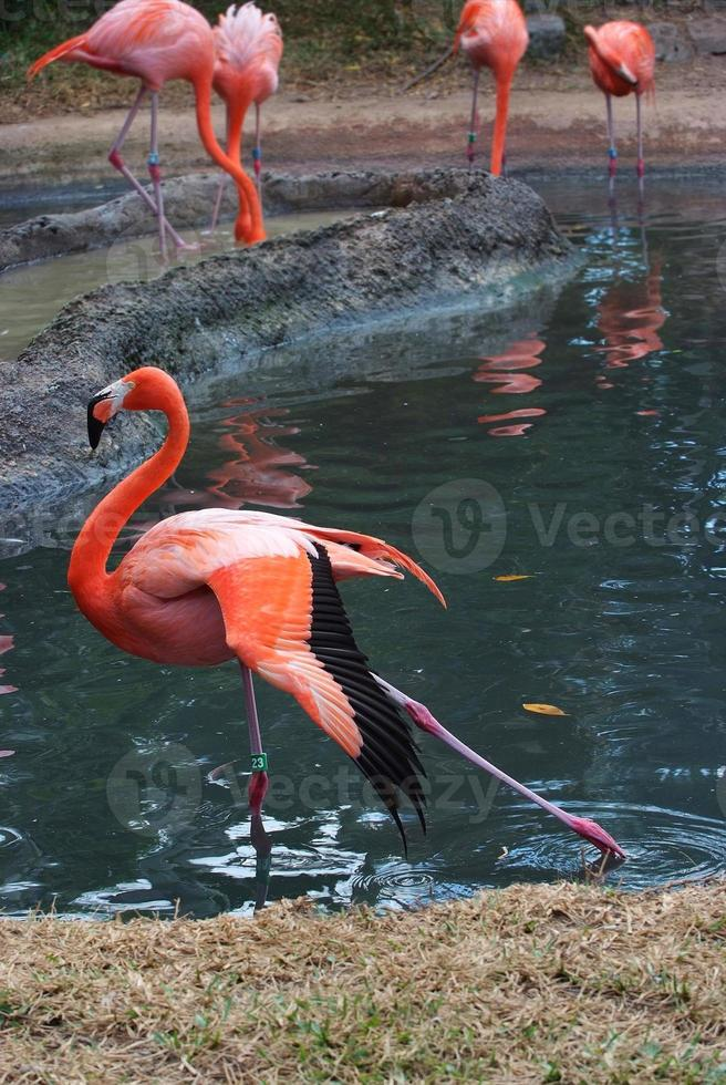 roze flamingo foto