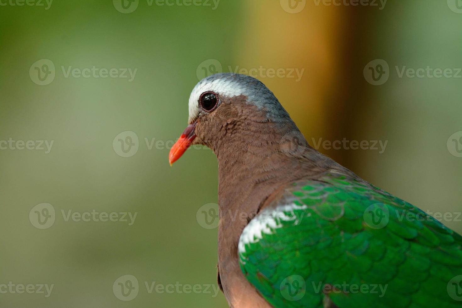 smaragdduif (ptilinopus jumbu) foto