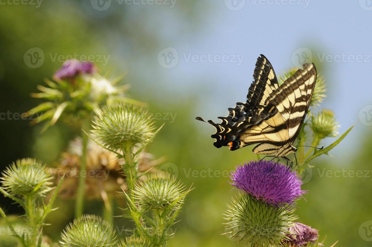 monarch op een paarse distel foto