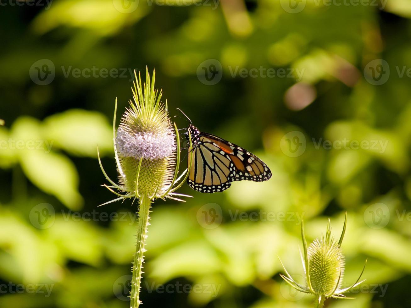 monarch en distel hoofd foto