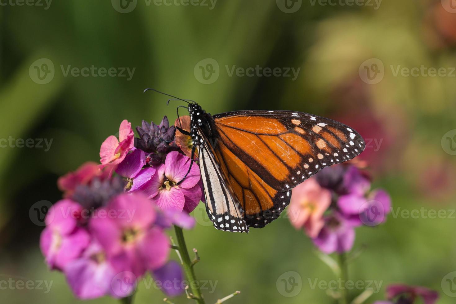 monarchvlinder voeden met roze bloemen foto