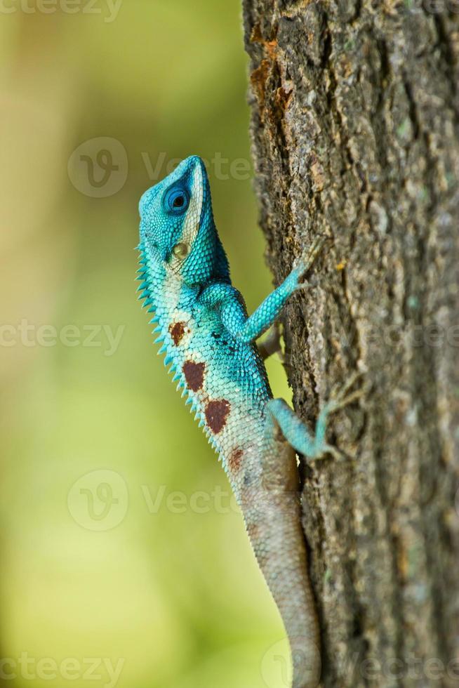 blauwe leguaan op boomtak foto