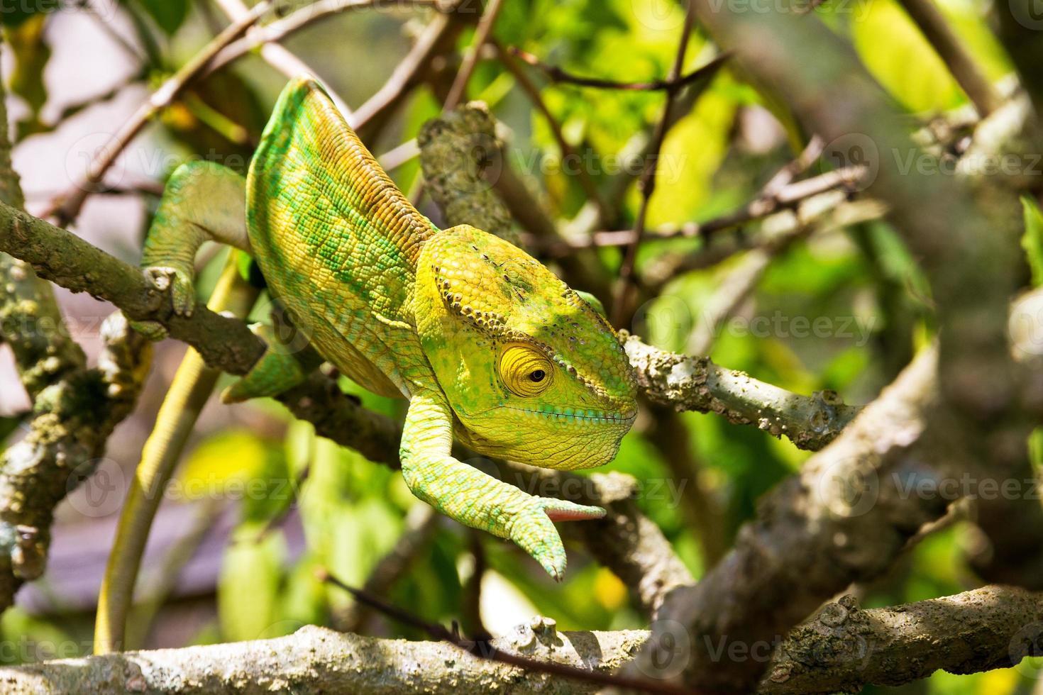 geelgroene kameleon foto