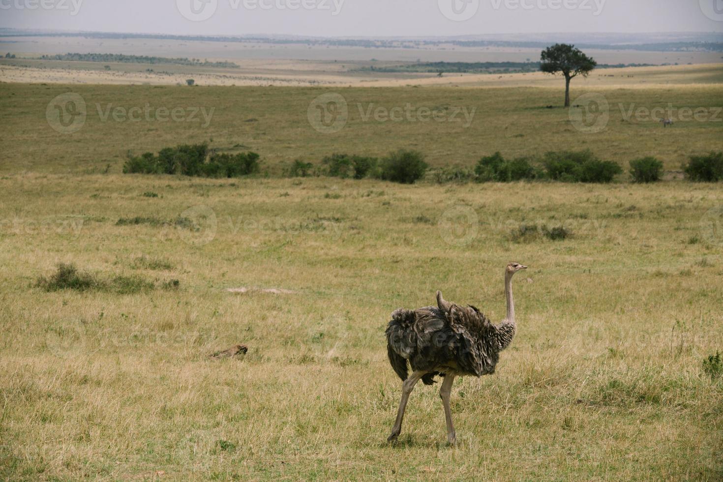 struisvogel in Kenia foto
