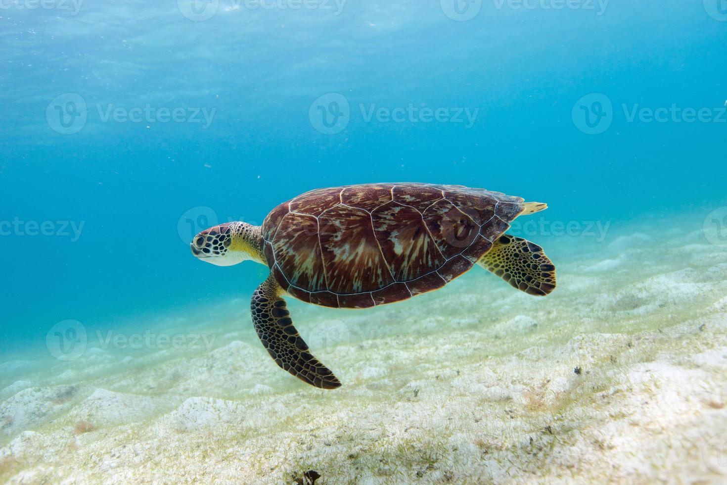 karetschildpad zeeschildpad foto