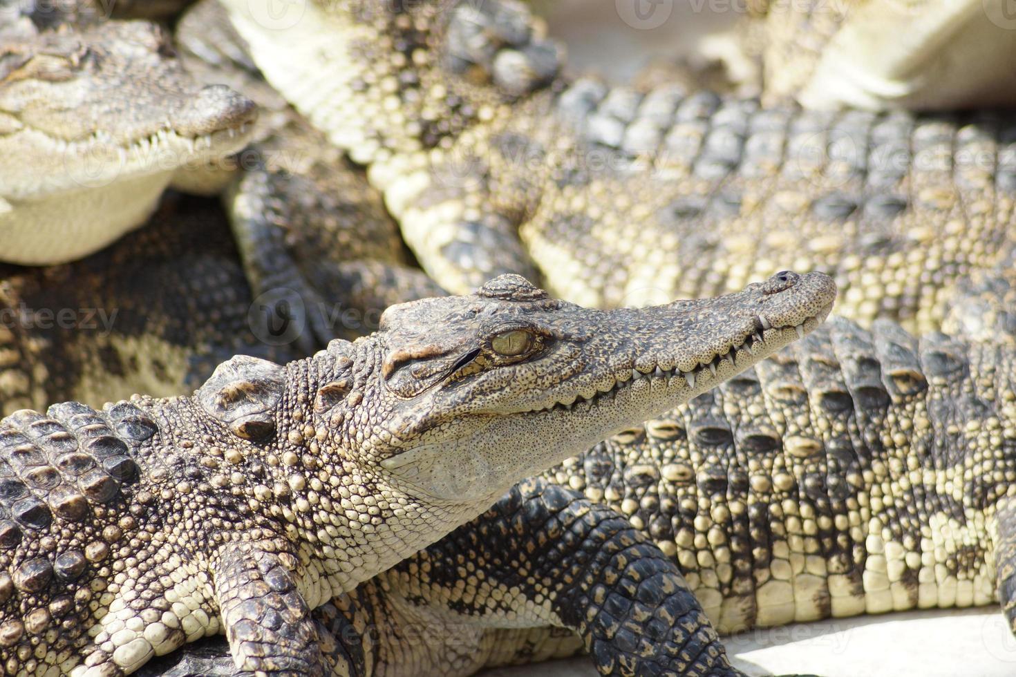 krokodillen foto