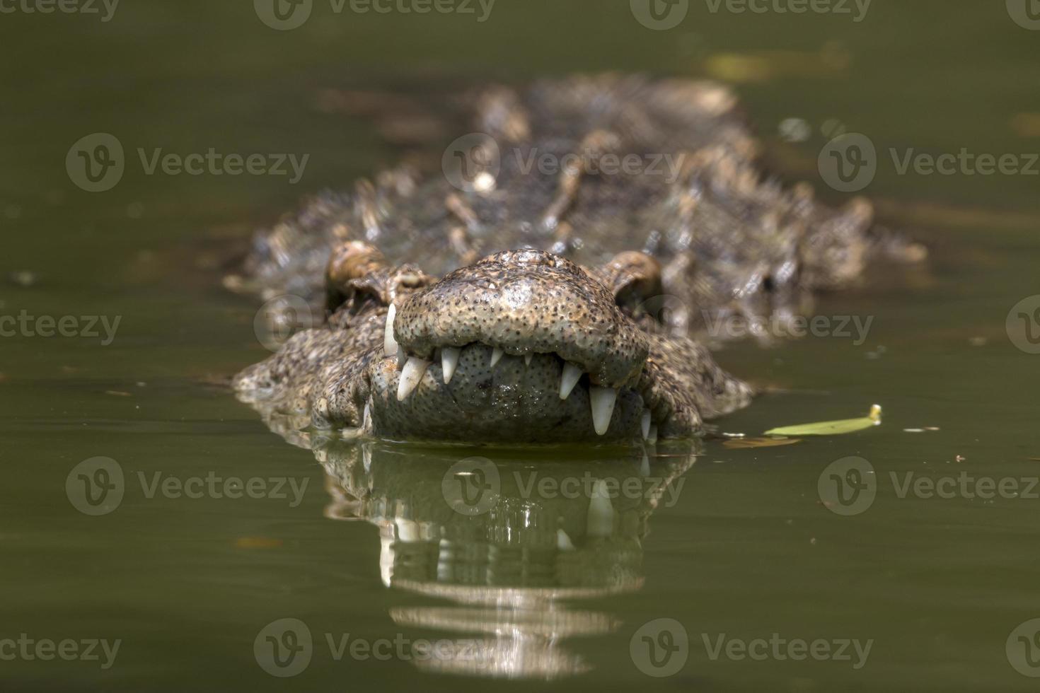 zwemmen in krokodil foto