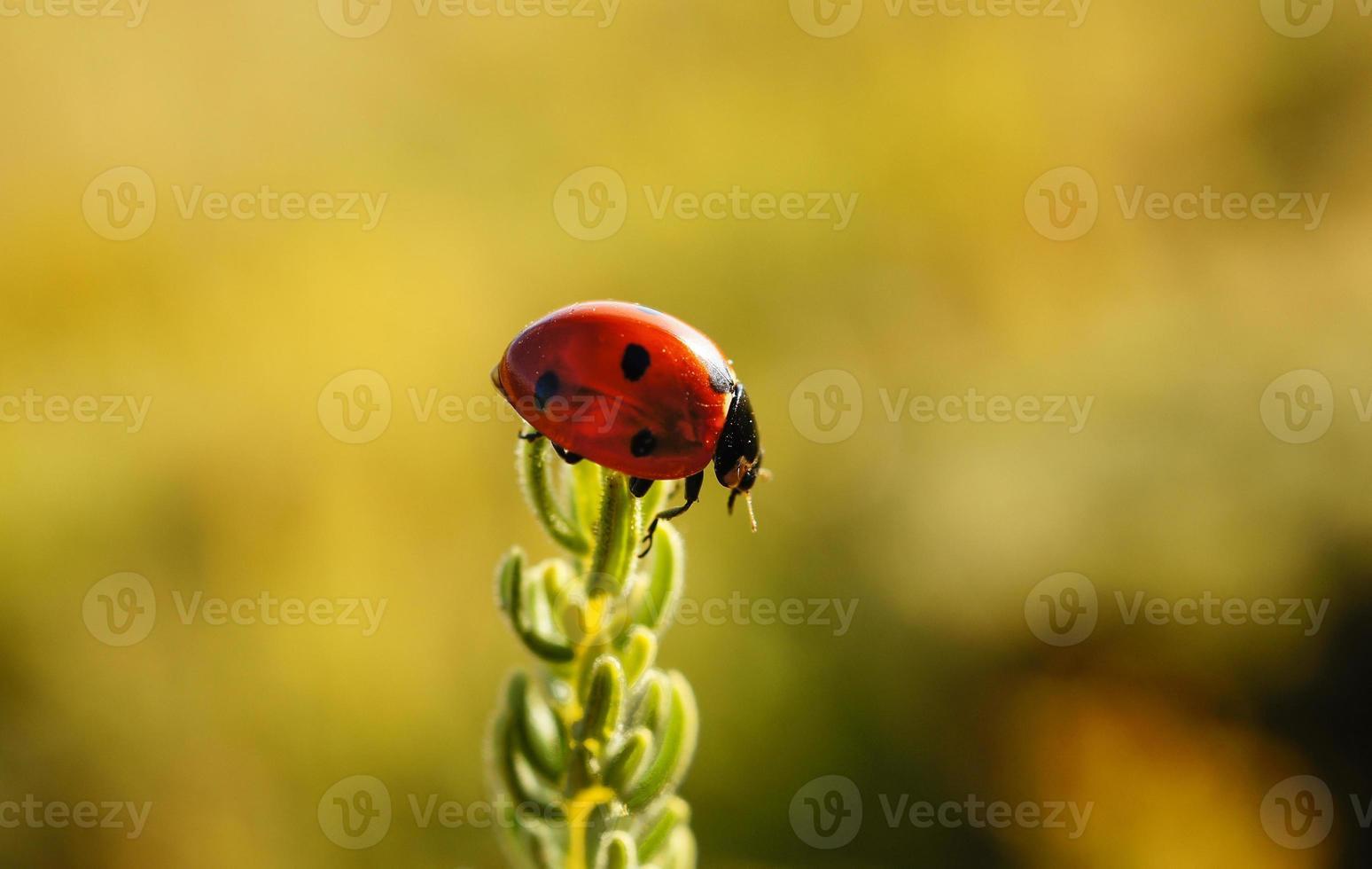lieveheersbeestje op gras. foto