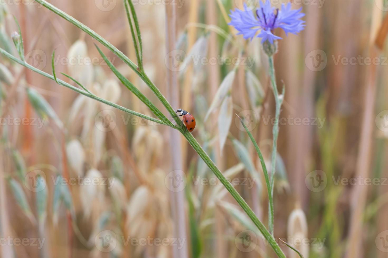 lieveheersbeestje op een hulm foto