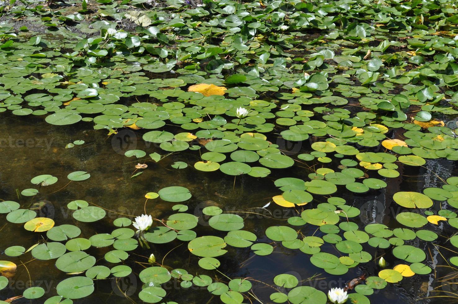 waterlelies foto
