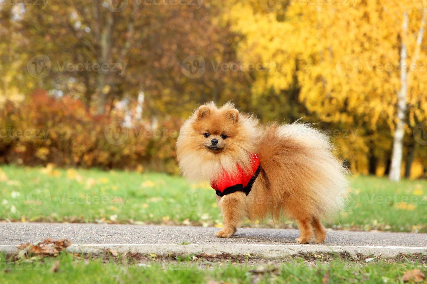 grappige herfst pommeren hond. foto