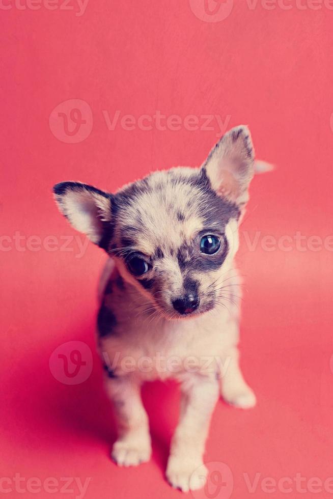 kleine theekopje Pommeren chihuahua pup staande op rode achtergrond foto