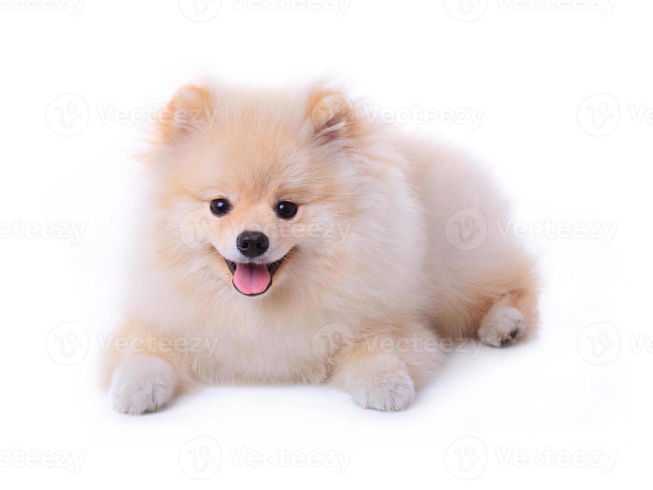 witte Pommeren puppy hondje foto