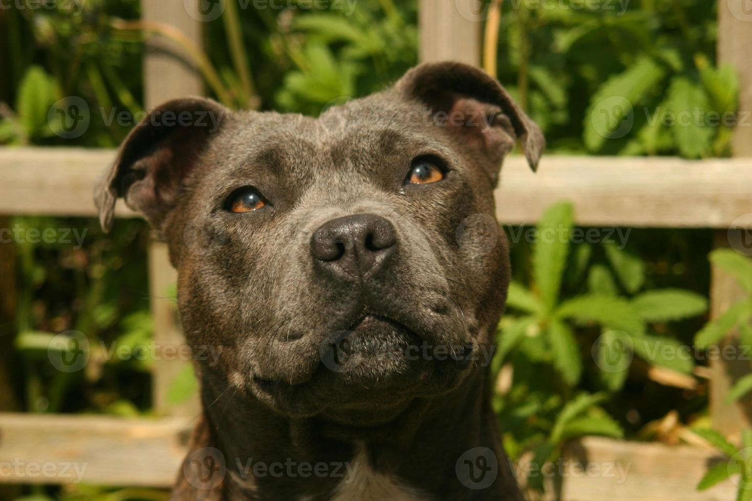 blauwe staffordshire bull terrier foto