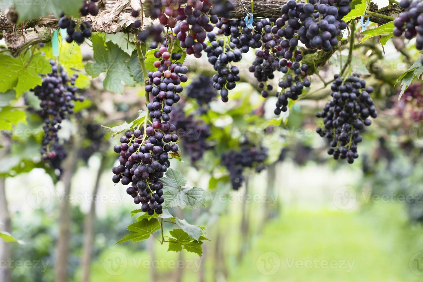 druiven met groene bladeren in de tuin foto