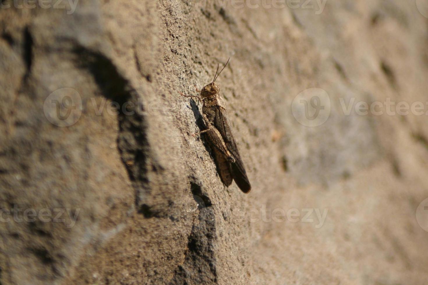 bruine sprinkhaan op rots foto