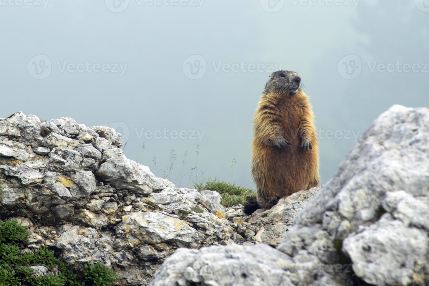 marmot die zich op een rots bevindt foto