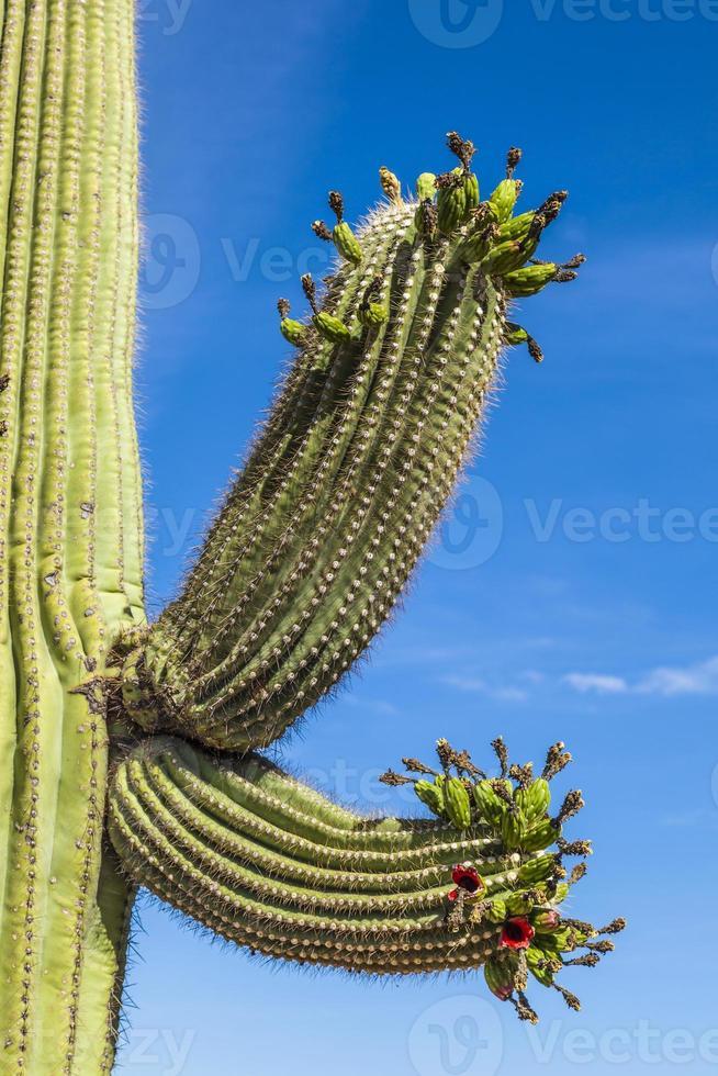 prachtige cactussen in landschap foto