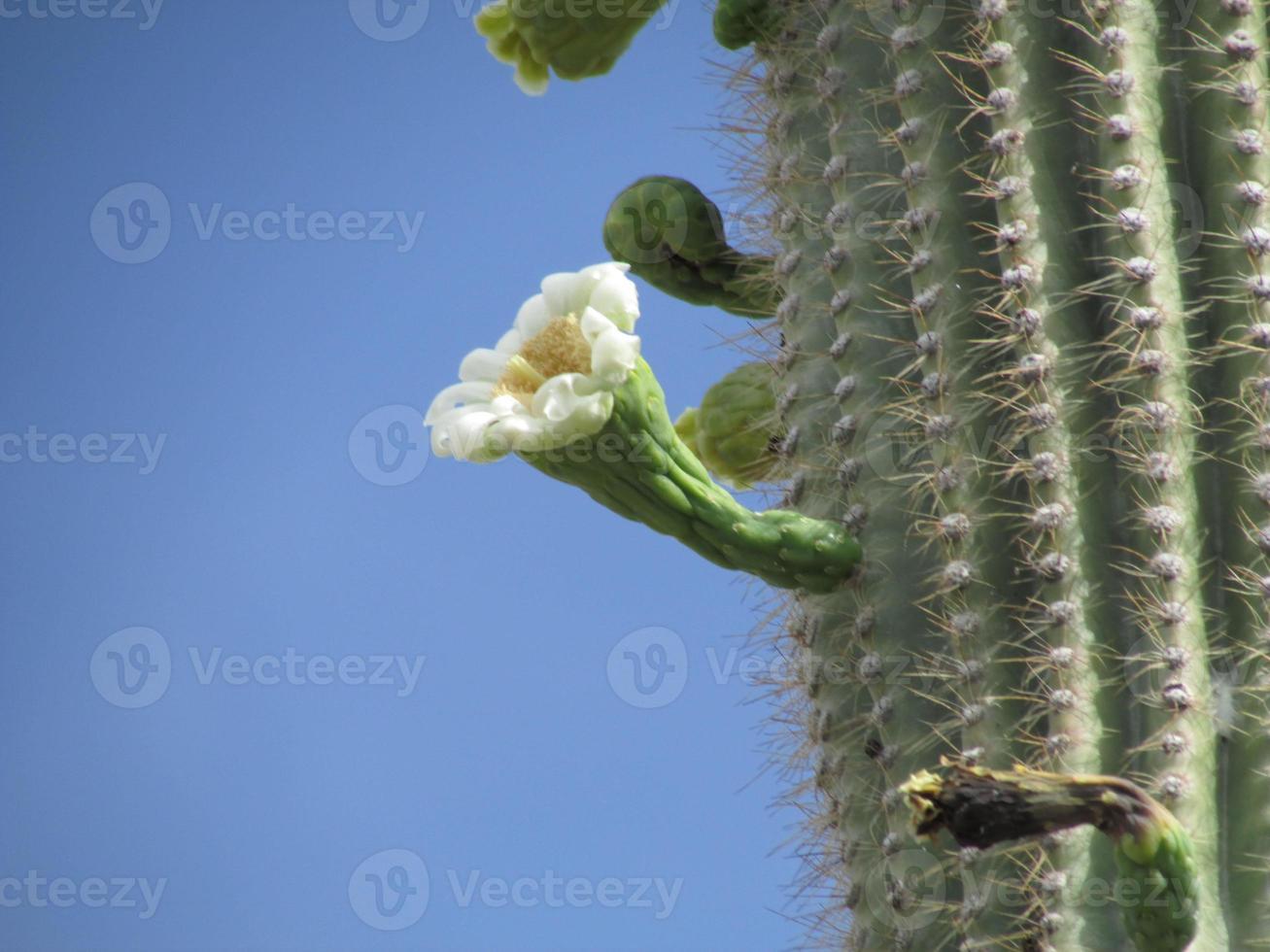 saguaro cactus bloeien zijaanzicht foto