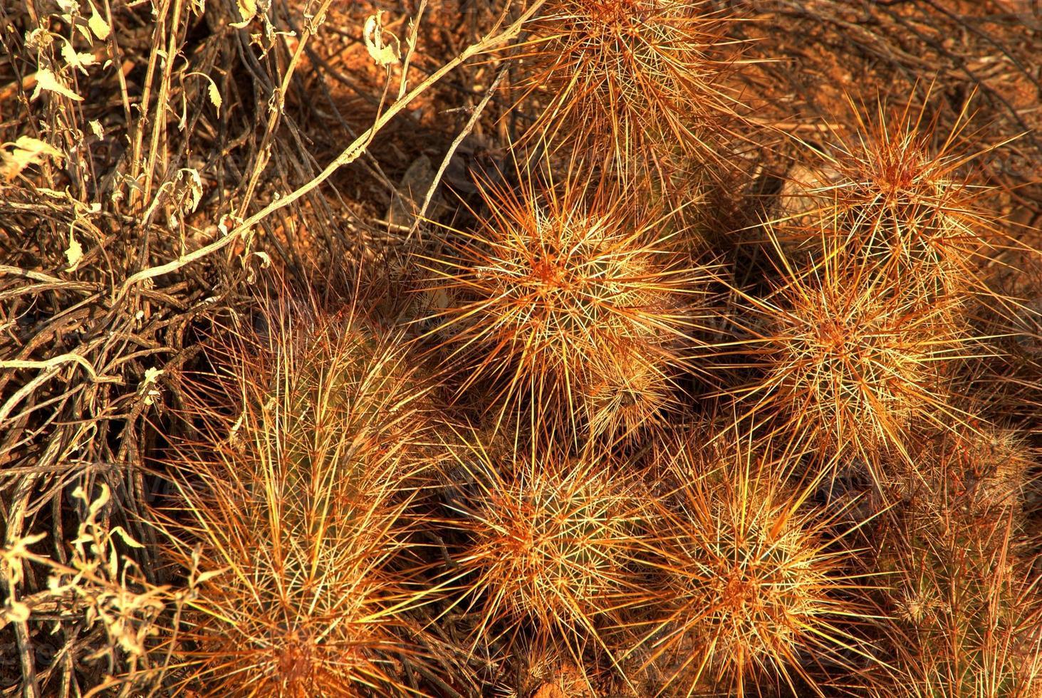 egel cactus foto
