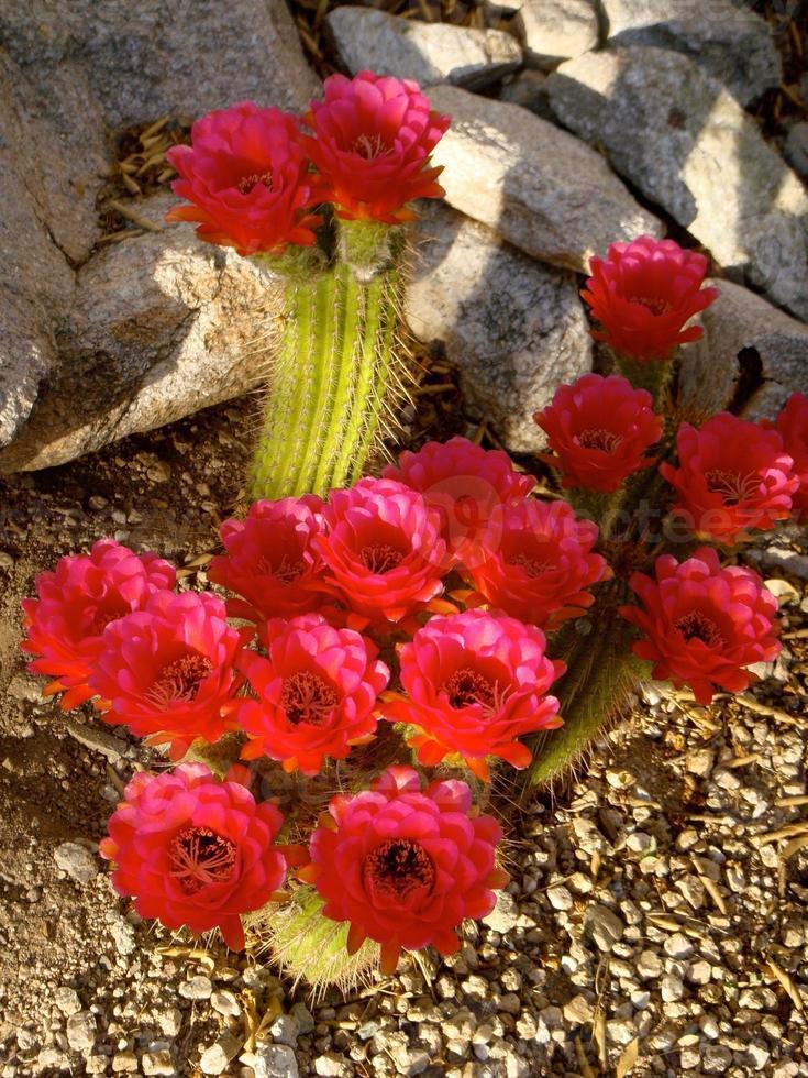 helder roze cactus bloeit tucson foto