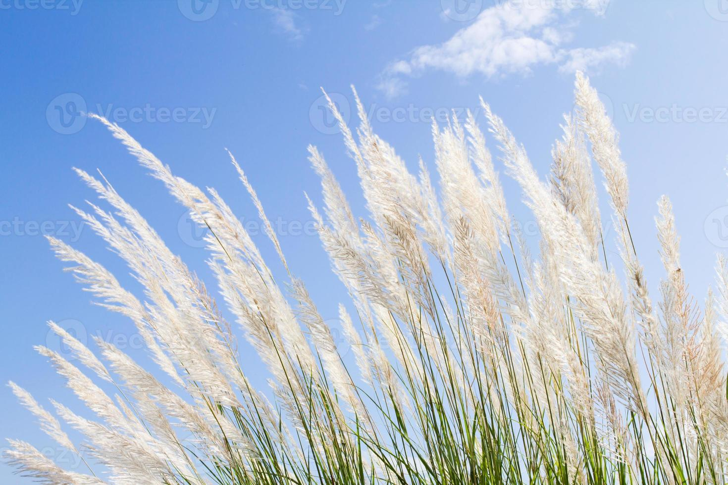zachtheid wit pluimgras met hemelsblauwe achtergrond en ruimte foto