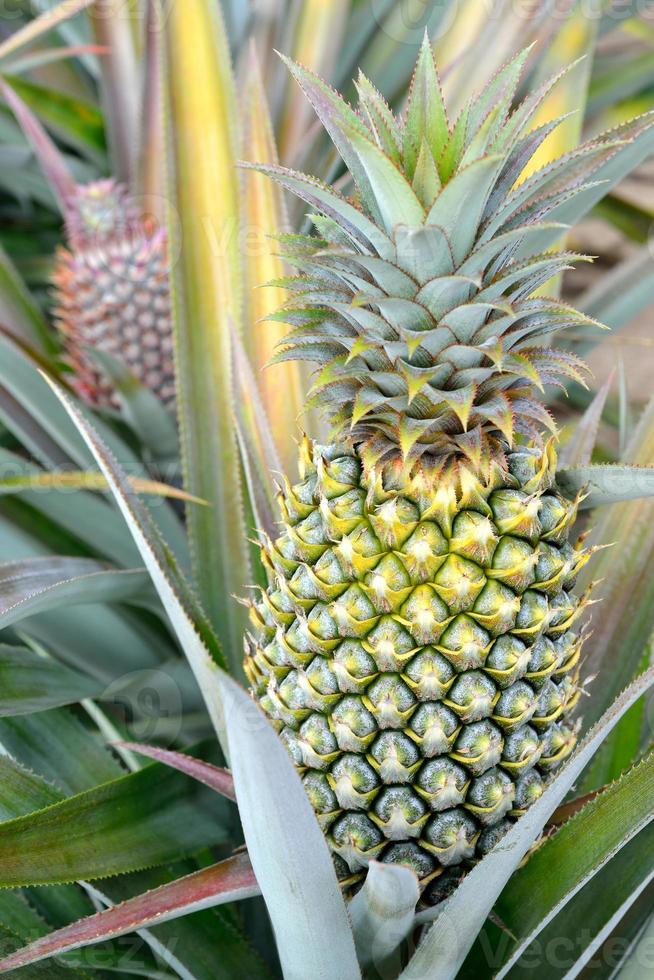 ananas boerderij foto