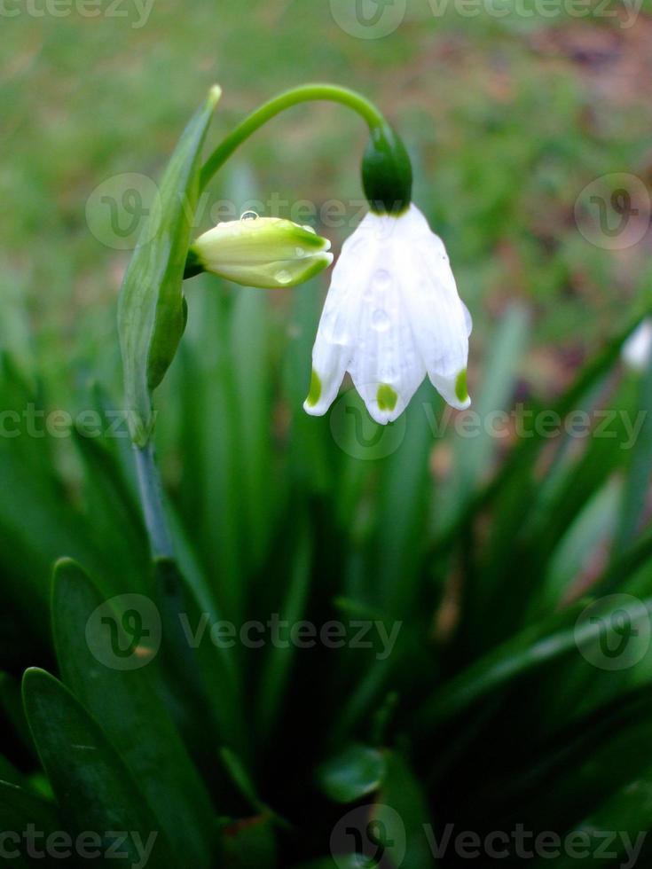 winter sneeuwklokje (galanthus) foto