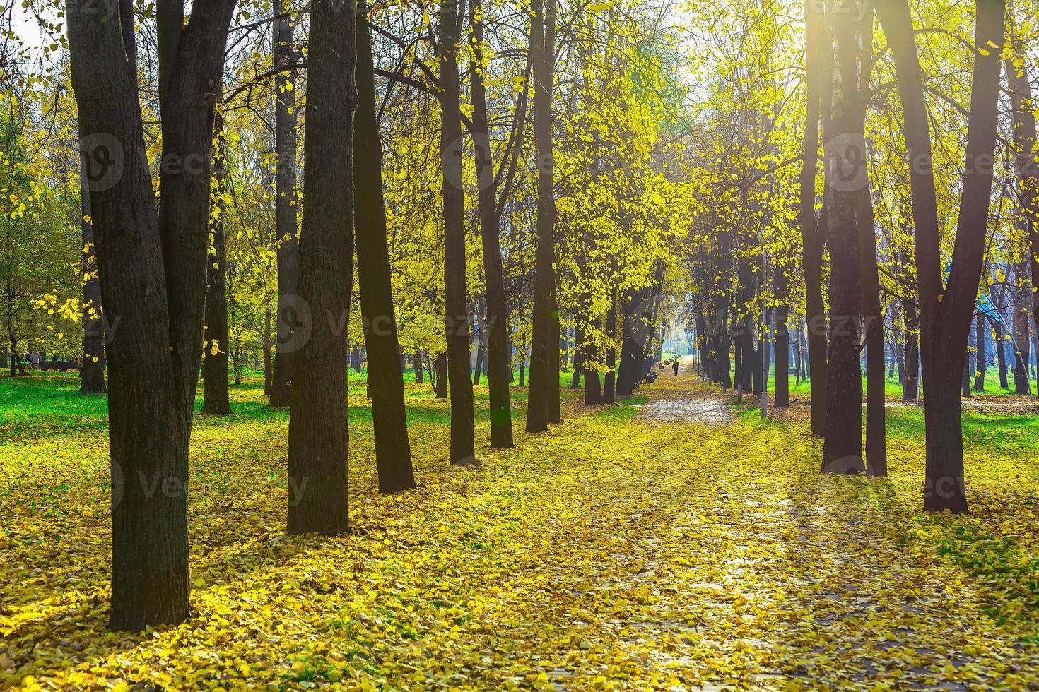 rij van herfst bomen onder gevallen gele bladeren foto