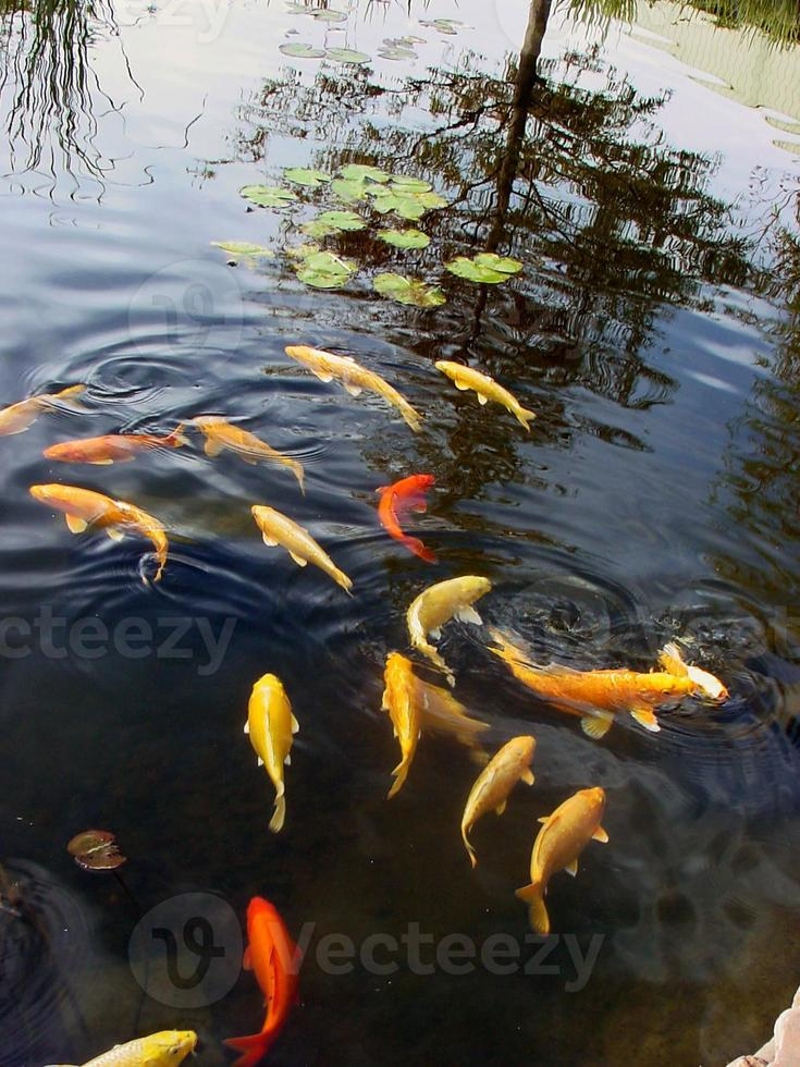 goudvissen in vijver @ sedgwick county zoo foto