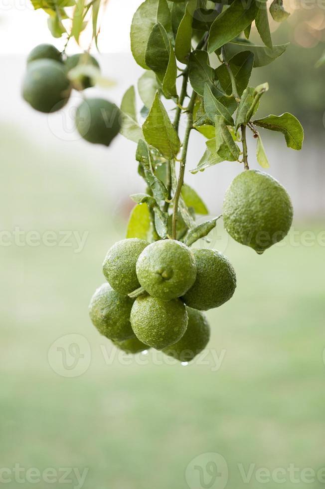 bush citroenen foto