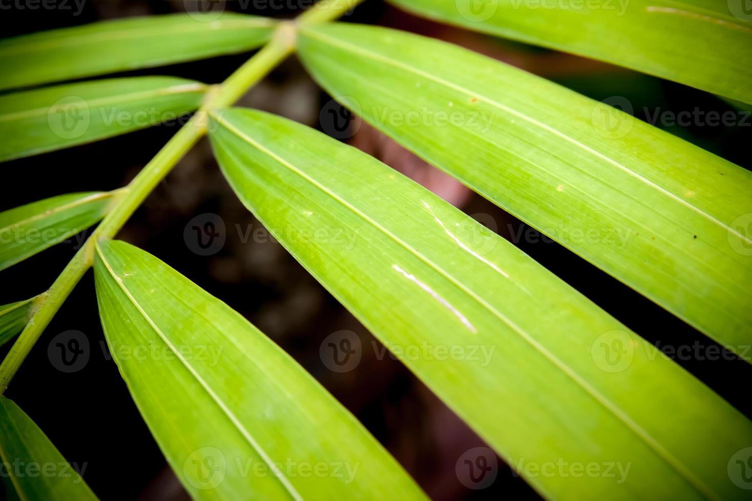 close up van betel palmbladeren foto