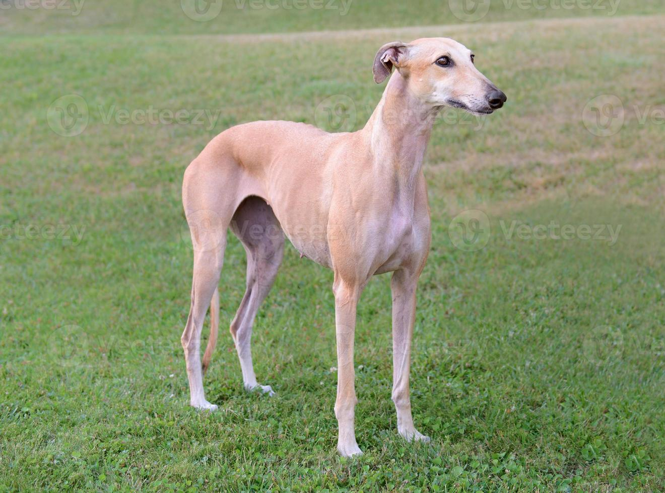 vrouwelijke Spaanse galgo hond foto